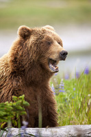 Brown Bears III