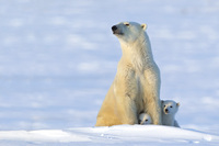 Polar Bear Cubs & Sow 2012