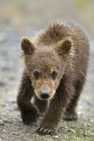 Brown Bears II