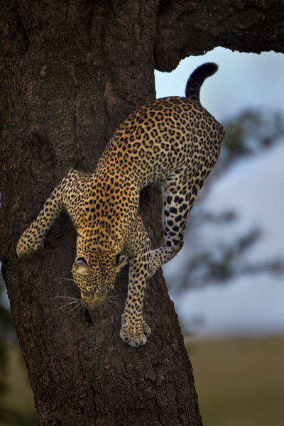 """On The Move"", Serengeti, Tanzania"