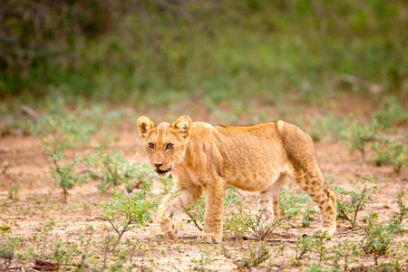 Lion Cub, Kruger National Park
